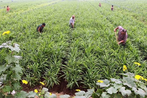 плантация имбиря