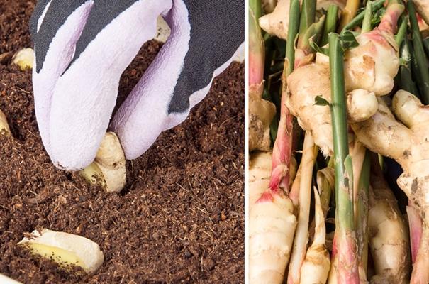 процесс посадки корня имбиря